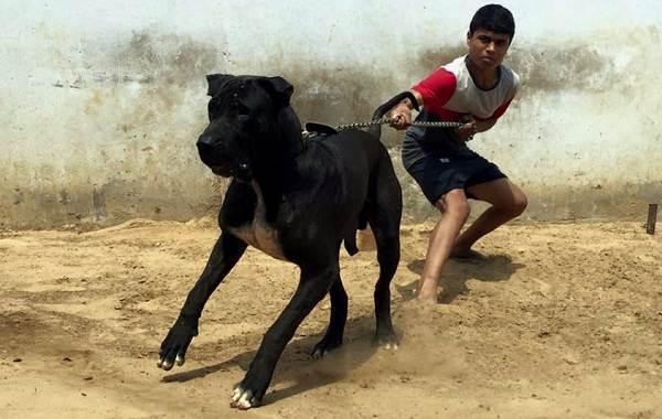 Булли-кутта-собака-Описание-особенности-характер-уход-и-цена-породы-булли-кутта-8