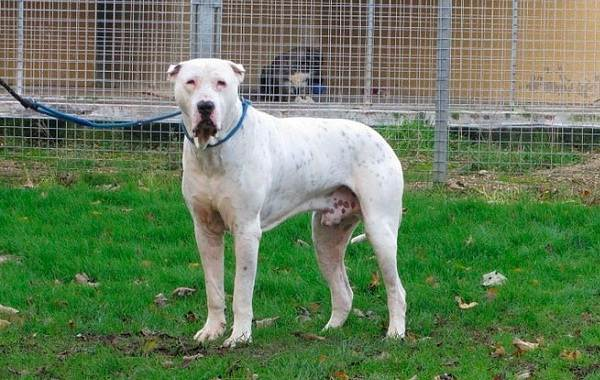 Булли-кутта-собака-Описание-особенности-характер-уход-и-цена-породы-булли-кутта-9