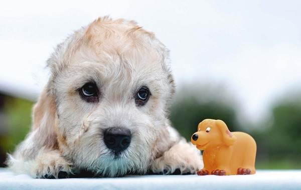 Денди-динмонт-терьер-собака-Описание-особенности-виды-уход-и-цена-породы-11