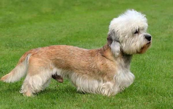 Денди-динмонт-терьер-собака-Описание-особенности-виды-уход-и-цена-породы-13