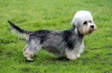 Денди динмонт терьер собака. Описание, особенности, виды, уход и цена породы