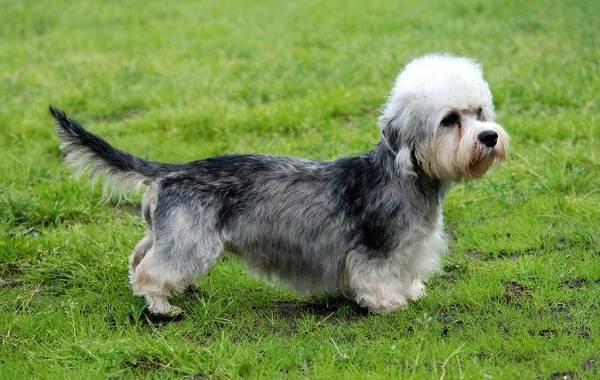 Денди-динмонт-терьер-собака-Описание-особенности-виды-уход-и-цена-породы-14