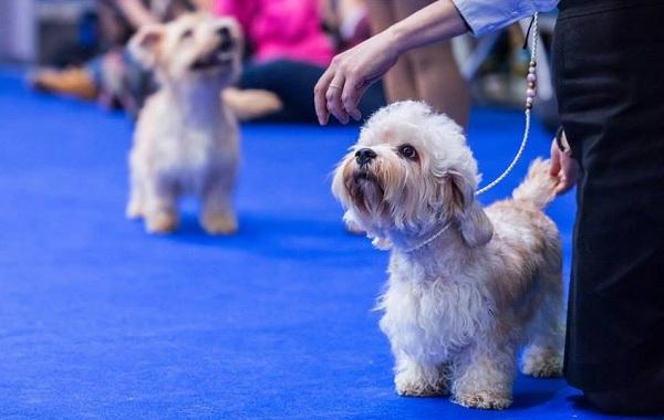 Денди-динмонт-терьер-собака-Описание-особенности-виды-уход-и-цена-породы-15