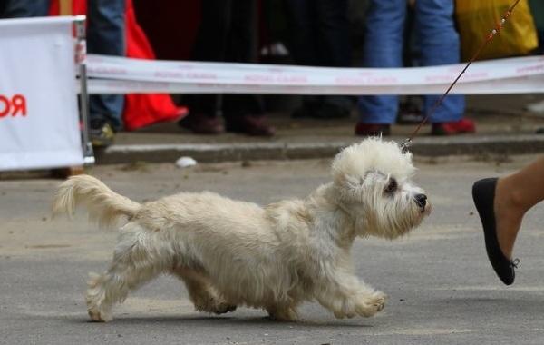 Денди-динмонт-терьер-собака-Описание-особенности-виды-уход-и-цена-породы-16