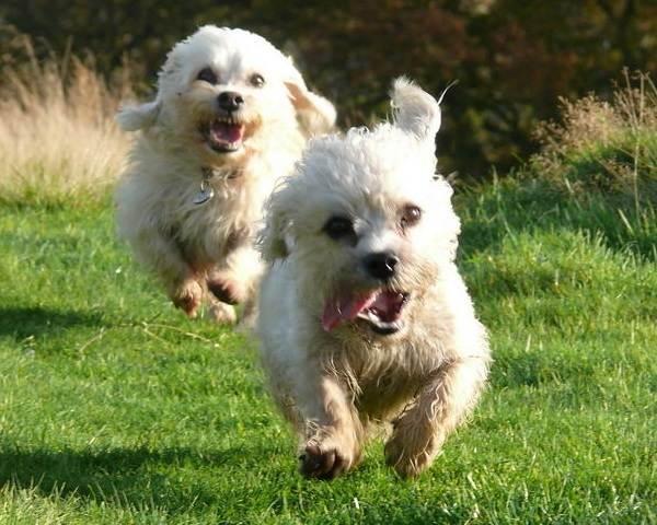 Денди-динмонт-терьер-собака-Описание-особенности-виды-уход-и-цена-породы-4