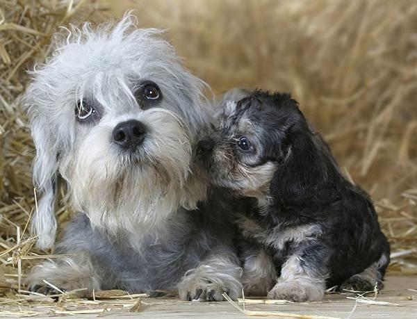 Денди-динмонт-терьер-собака-Описание-особенности-виды-уход-и-цена-породы-6