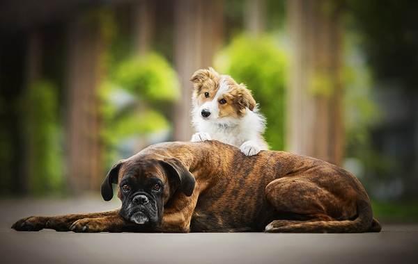Добрые-породы-собак-Описание-особенности-названия-и-фото-добрых-пород-собак-1