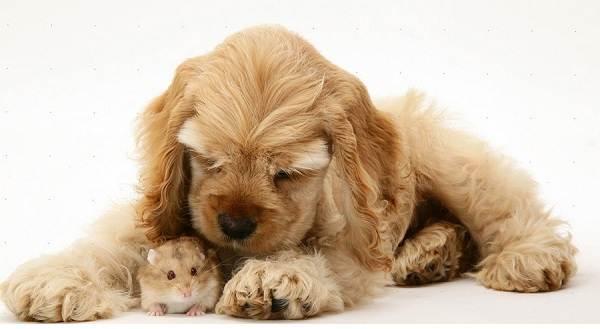 Добрые-породы-собак-Описание-особенности-названия-и-фото-добрых-пород-собак-10