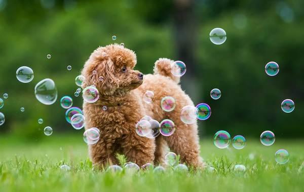 Добрые-породы-собак-Описание-особенности-названия-и-фото-добрых-пород-собак-15
