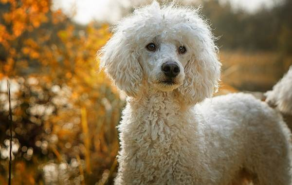 Добрые-породы-собак-Описание-особенности-названия-и-фото-добрых-пород-собак-16