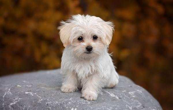 Добрые-породы-собак-Описание-особенности-названия-и-фото-добрых-пород-собак-17