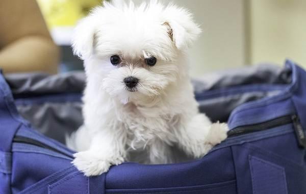 Добрые-породы-собак-Описание-особенности-названия-и-фото-добрых-пород-собак-18