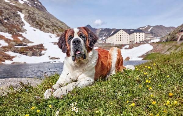 Добрые-породы-собак-Описание-особенности-названия-и-фото-добрых-пород-собак-19