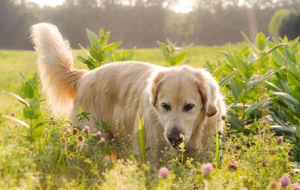 Добрые-породы-собак-Описание-особенности-названия-и-фото-добрых-пород-собак-2