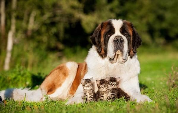 Добрые-породы-собак-Описание-особенности-названия-и-фото-добрых-пород-собак-20