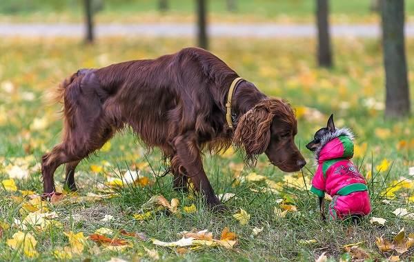 Добрые-породы-собак-Описание-особенности-названия-и-фото-добрых-пород-собак-22