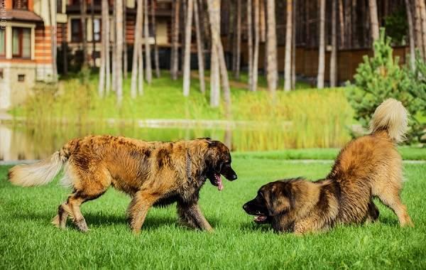 Добрые-породы-собак-Описание-особенности-названия-и-фото-добрых-пород-собак-24