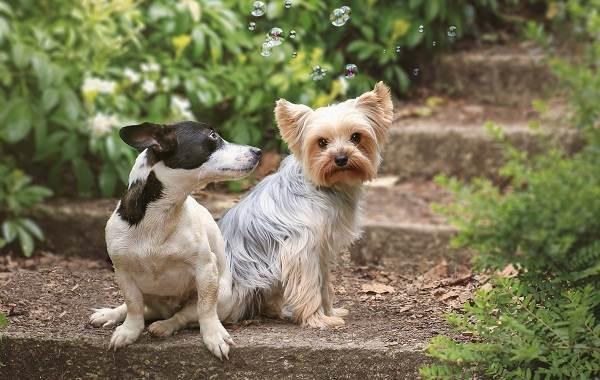 Добрые-породы-собак-Описание-особенности-названия-и-фото-добрых-пород-собак-26