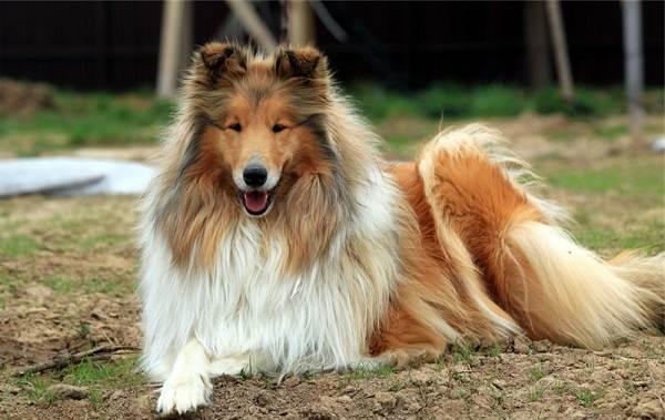 Добрые-породы-собак-Описание-особенности-названия-и-фото-добрых-пород-собак-28