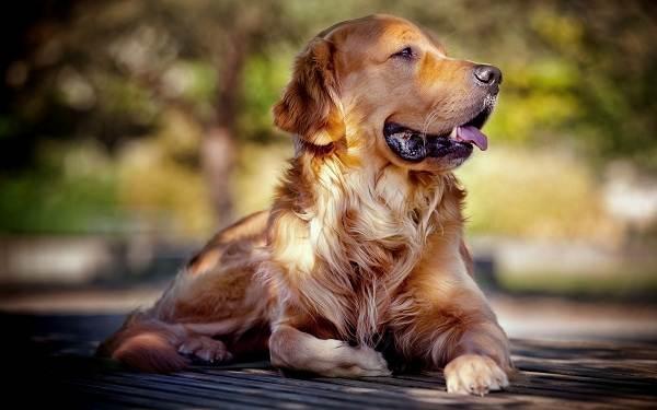 Добрые-породы-собак-Описание-особенности-названия-и-фото-добрых-пород-собак-3