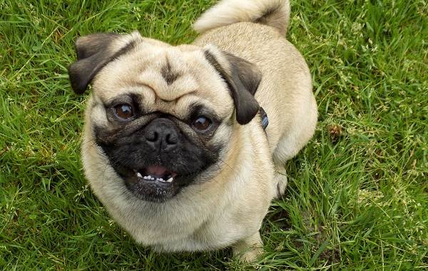 Добрые-породы-собак-Описание-особенности-названия-и-фото-добрых-пород-собак-4