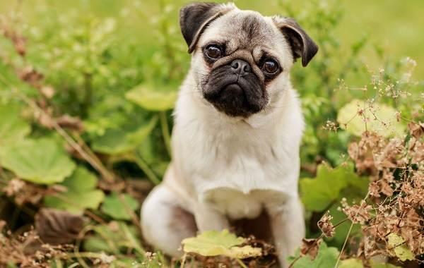Добрые-породы-собак-Описание-особенности-названия-и-фото-добрых-пород-собак-5