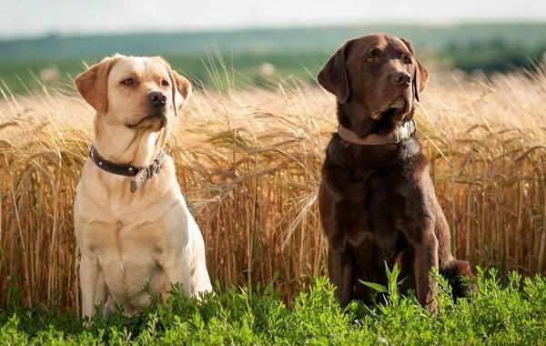 Добрые-породы-собак-Описание-особенности-названия-и-фото-добрых-пород-собак-6