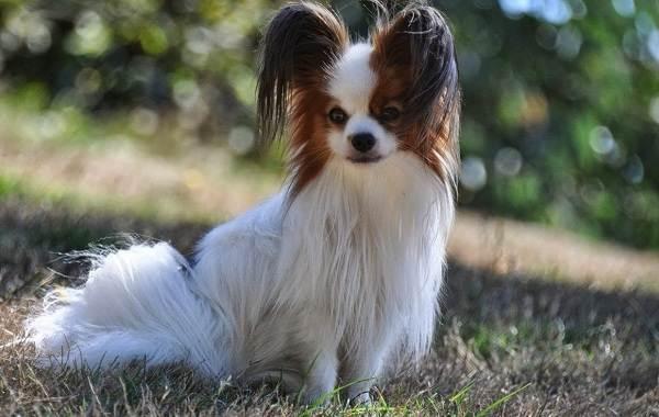 Добрые-породы-собак-Описание-особенности-названия-и-фото-добрых-пород-собак-8
