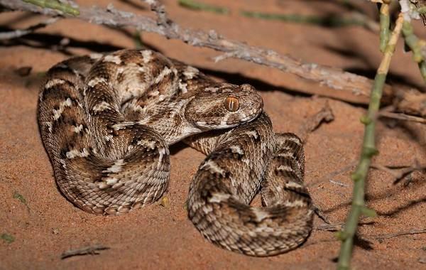 Эфа-змея-Описание-особенности-виды-образ-жизни-и-среда-обитания-эфы-1