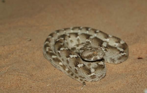 Эфа-змея-Описание-особенности-виды-образ-жизни-и-среда-обитания-эфы-12