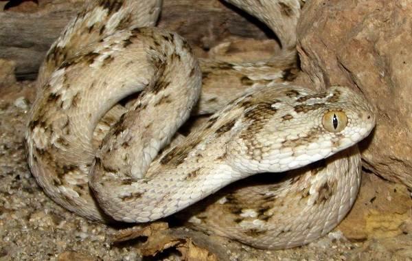 Эфа-змея-Описание-особенности-виды-образ-жизни-и-среда-обитания-эфы-14