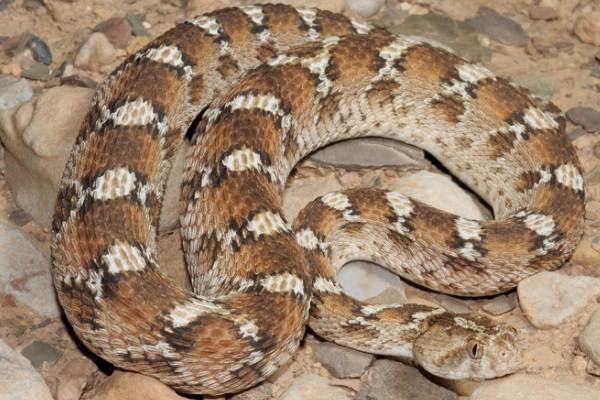 Эфа-змея-Описание-особенности-виды-образ-жизни-и-среда-обитания-эфы-16