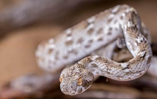 Эфа-змея-Описание-особенности-виды-образ-жизни-и-среда-обитания-эфы-17