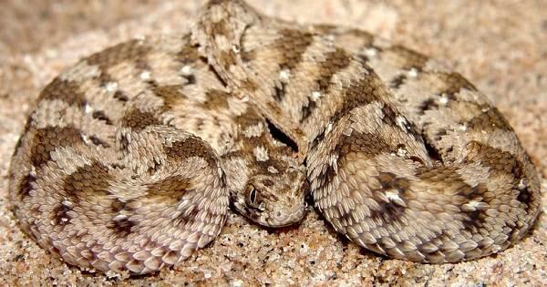 Эфа-змея-Описание-особенности-виды-образ-жизни-и-среда-обитания-эфы-18