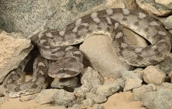 Эфа-змея-Описание-особенности-виды-образ-жизни-и-среда-обитания-эфы-19