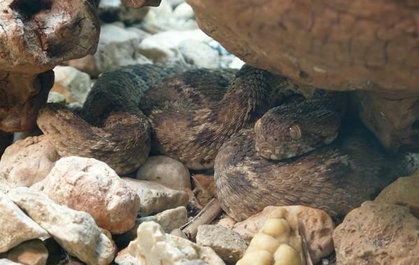 Эфа-змея-Описание-особенности-виды-образ-жизни-и-среда-обитания-эфы-20