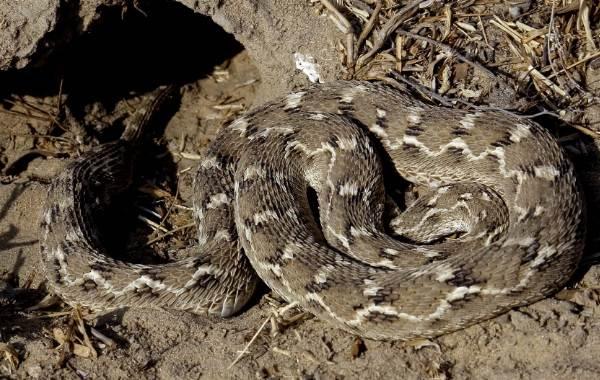 Эфа-змея-Описание-особенности-виды-образ-жизни-и-среда-обитания-эфы-23