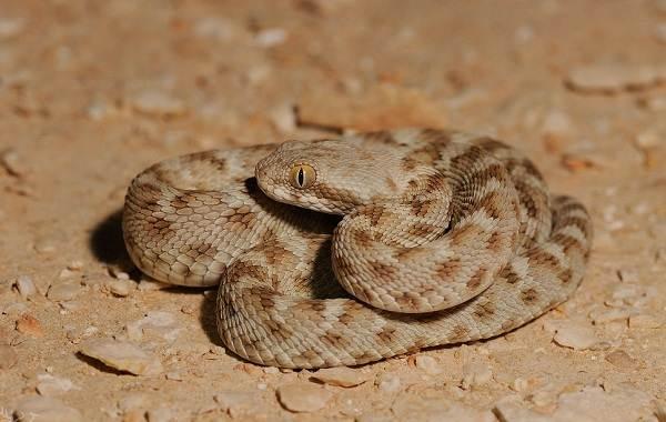 Эфа-змея-Описание-особенности-виды-образ-жизни-и-среда-обитания-эфы-24