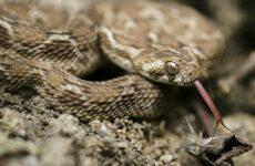 Эфа змея. Описание, особенности, виды, образ жизни и среда обитания эфы