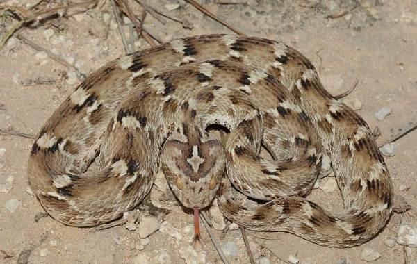 Эфа-змея-Описание-особенности-виды-образ-жизни-и-среда-обитания-эфы-3