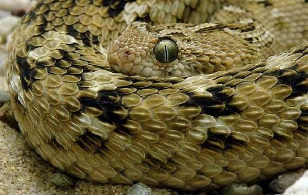 Эфа-змея-Описание-особенности-виды-образ-жизни-и-среда-обитания-эфы-4