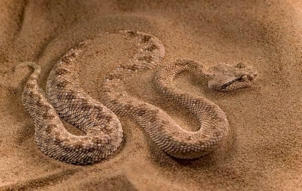Эфа-змея-Описание-особенности-виды-образ-жизни-и-среда-обитания-эфы-7