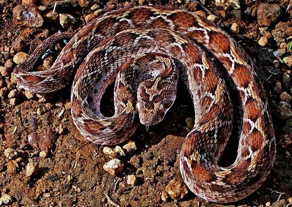 Эфа-змея-Описание-особенности-виды-образ-жизни-и-среда-обитания-эфы-8