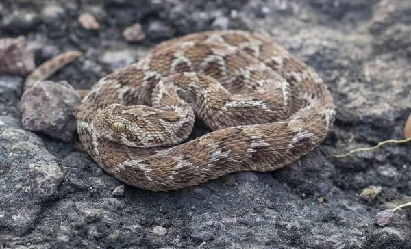 Эфа-змея-Описание-особенности-виды-образ-жизни-и-среда-обитания-эфы-9