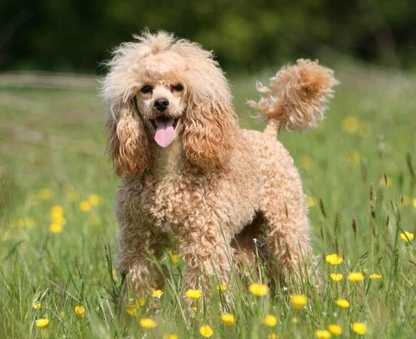 Гипоаллергенные-породы-собак-Описание-названия-виды-и-фото-гипоаллергенных-пород-1