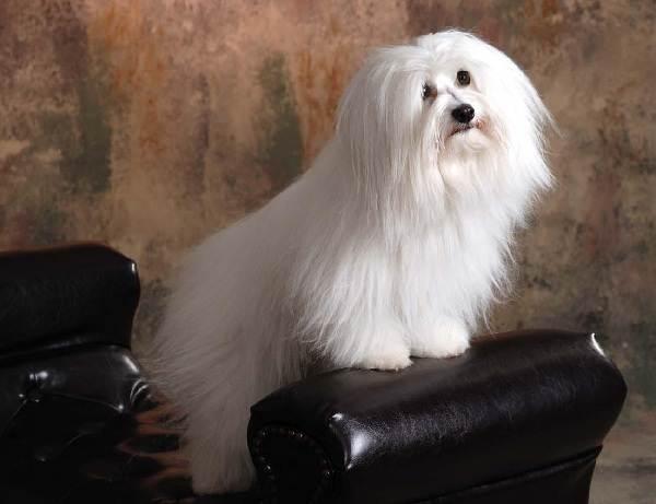 Гипоаллергенные-породы-собак-Описание-названия-виды-и-фото-гипоаллергенных-пород-11