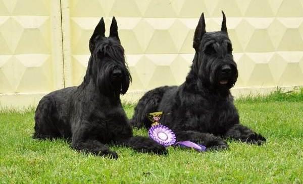 Гипоаллергенные-породы-собак-Описание-названия-виды-и-фото-гипоаллергенных-пород-13