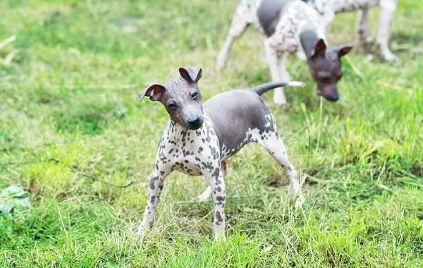 Гипоаллергенные-породы-собак-Описание-названия-виды-и-фото-гипоаллергенных-пород-17