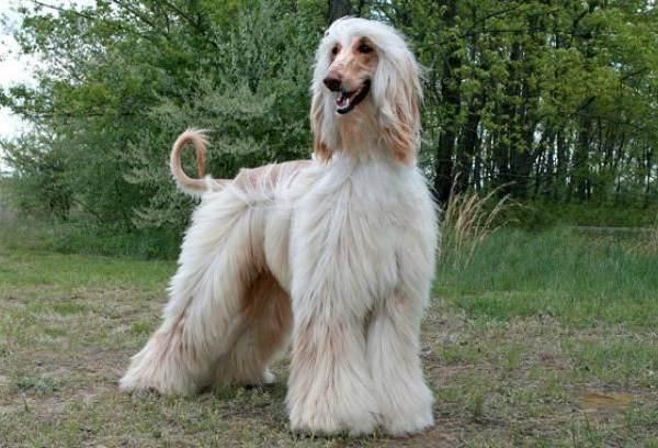 Гипоаллергенные-породы-собак-Описание-названия-виды-и-фото-гипоаллергенных-пород-18