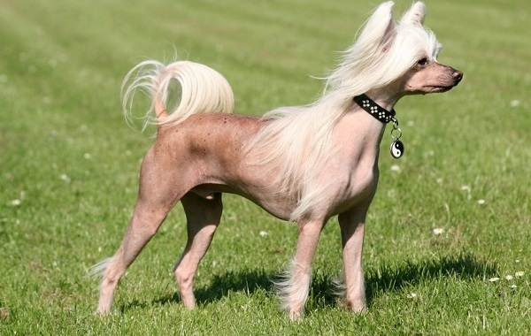 Гипоаллергенные-породы-собак-Описание-названия-виды-и-фото-гипоаллергенных-пород-20